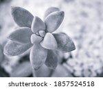 Succulent Ghost Plant  ...