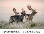 Fallow Deer  Dama Dama  Bucks ...