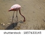 Pink Flamingo Stands In A Pond...