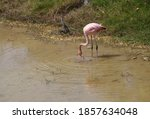 Pink Flamingo Standing In A...