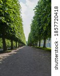 Linden Alley In The Park  A...