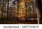 Undergrowth Of Beech Trees...