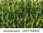 Green Field Cornfield Or Corn...