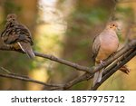 A Pair Of Mourning Doves...
