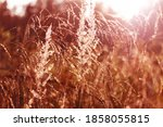 Dry Golden Reed On Sunset....