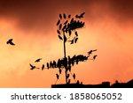 A Flock Of Starling Birds...