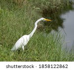 Great Egret With  Pure White...