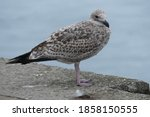 Young Seagull Standing On A...