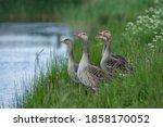 Four Greylag Goose  Anser Anser ...