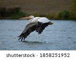 American White Pelican  Birds ...