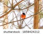 The Bullfinch Songbird With A...