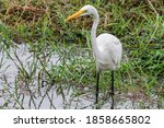 Great Egret Standing Erect And...