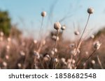Dry Wild Onion Grass With Seeds ...