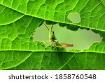 A Green Grasshopper Is Sitting...