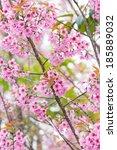 the cherry blossom blooming on... | Shutterstock . vector #185889032