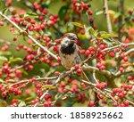 House Sparrow  Passer...