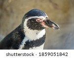 Humboldt Penguin Aka Spheniscus ...