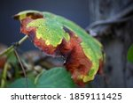 Decaying Discoloured Leaf On A...