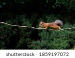 Red Squirrel Bounds Gracefully...