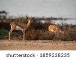 Arabian Reheem Gazelles At...