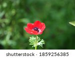 Red Anemone Flower Growing In...