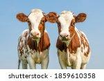 Cute cow calves tender love...