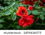 Red Blooming Wild Rose With...