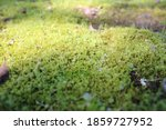 Thick Moss On The Forest Floor