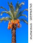 Date Palm Tree  Phoenix...