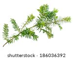yew twig isolated on white... | Shutterstock . vector #186036392