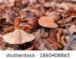 Big Mushrooms In A Forest Found ...