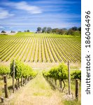 Vineyard with rows of grapes growing under a blue sky - stock photo