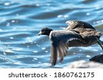 American Coot Getting Back To...