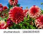 Dahlia Flowers In The Garden Of ...
