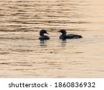 Silhouettes Of Loons Dancing In ...