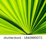 The Abstract Of Fountain Palm...