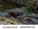 A Black Oystercatcher Splashes...