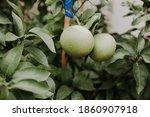 Growing And Pruning Grapefruit  ...
