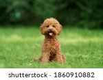 Small Chocolate Poodle On The...