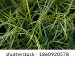 Pattern Of Plant Names Carex...
