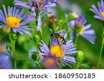 The Syrphidae Fly Sits On A...