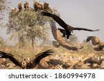 Cinereous Vulture Or Black Or...