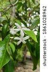 Small photo of pronojiwo (Euchresta horsfieldii (Lesch.) Benn) flowers that is grown in the tropics