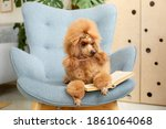 A Poodle Dog Is Lying On The...