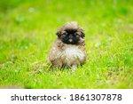 Pekingese Puppy Running On The...