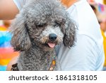 A Grey Poodle Dog Hugged And...