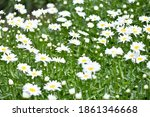 Chamomile Flower On A Green...