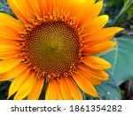 close up of sunflower in the...   Shutterstock . vector #1861354282