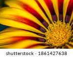 Beauty Gazania Flower....