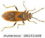 Arocatus Melanocephalus  The...